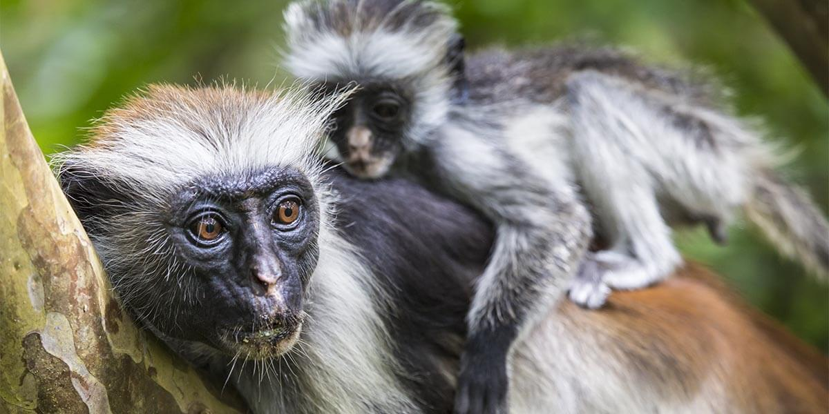 They'll be amazed by the wild nature in Jambiani Forest, where they'll meet the Red Colobus monkey