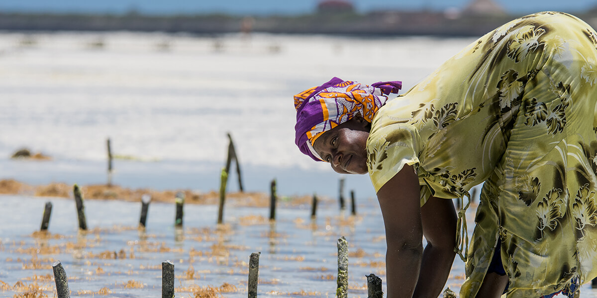 Woman harvesting sea weed on a sea plantation in traditional dress in Jambiani, Zanzibar